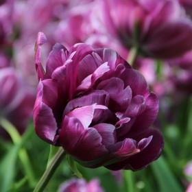Tulipa 'Blue Diamond'