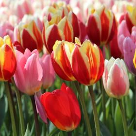Tulipa -Darwin Hybriden...