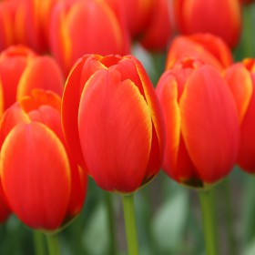 Tulipa 'Worlds Favourite'