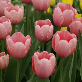 Tulipa 'Salmon Impression'