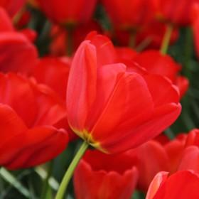Tulipa 'Parade'