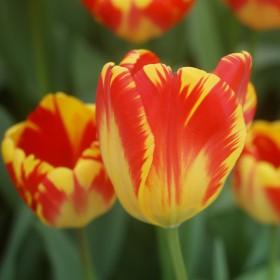Tulipa 'Banja Luka'