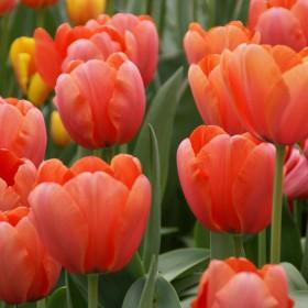 Tulipa 'Apricot Impression'®