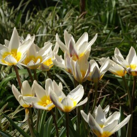 Tulipa 'Ice Stick'