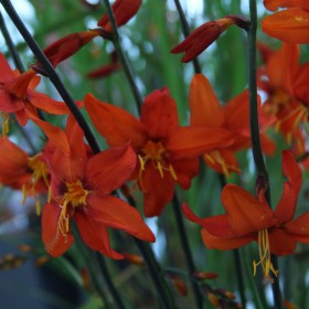 Crocosmia 'Babylon'