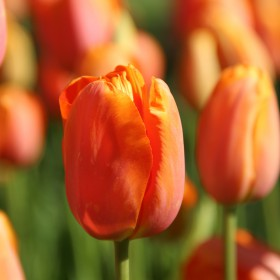 Tulipa 'Dordogne'
