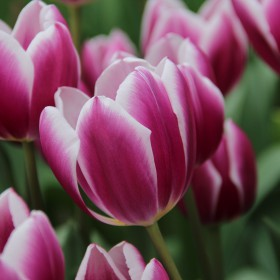 Tulipa 'Synaeda Blue'