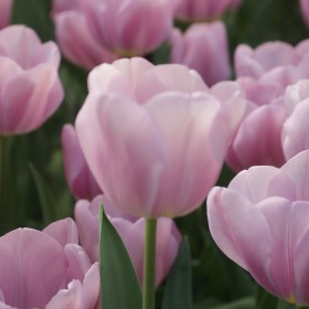 Tulipa 'Synaeda Amor'