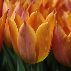 Tulipa 'Request'®