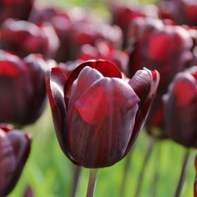 Tulipa 'Continental'