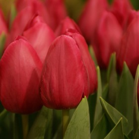 Tulipa 'Barcelona'
