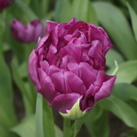 Tulipa 'Royal Acres'®