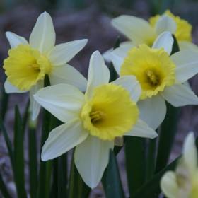 Narcissus 'February Silver'