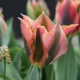 Tulipa 'Artist'