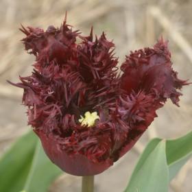Tulipa 'Labrador'