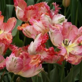 Tulipa 'Apricot Parrot'