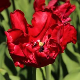 Tulipa 'Red Madonna'