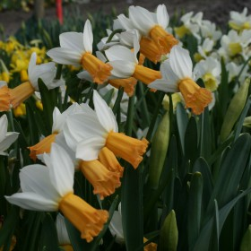 Narcissus 'Winter Walzer'