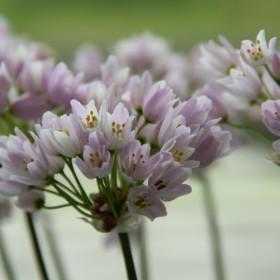 Allium roseum 'Grandiflorum'