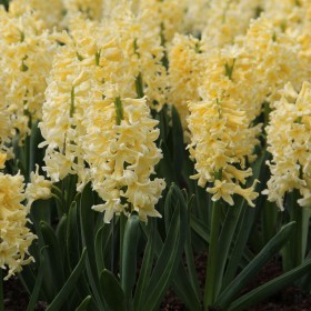 Hyacinthus 'Yellow Queen'