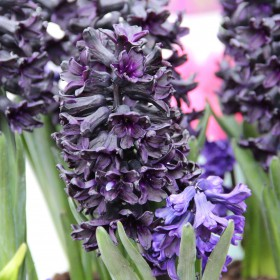 Hyacinthus 'Dark Dimension'