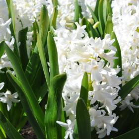 Hyacinthus 'Aiolos'