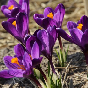 Crocus vernus 'Flower Record'