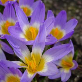 Crocus sieberi subsp....