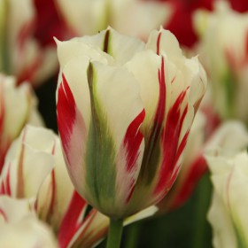 Tulipa 'Flaming Springgreen'®