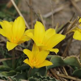 Tulipa montana var....