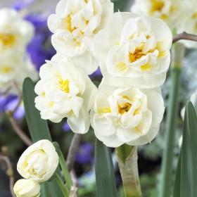 Narcissus 'The Bride'