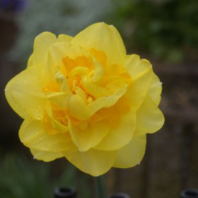 Narcissus 'Sherborne'