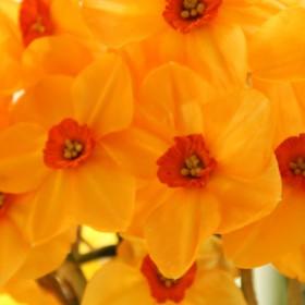 Narcissus 'Sabine Hay'