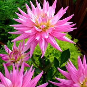Dahlia 'Karma Pink Corona'