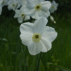 Narcissus 'Polar Ice'