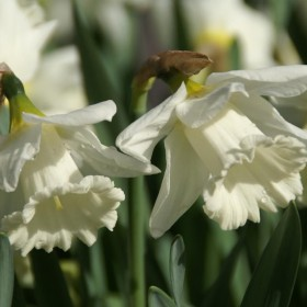 Narcissus 'Mount Hood'