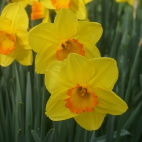 Narcissus 'Goldflake'