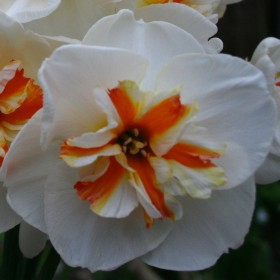 Narcissus 'Broadway Star'
