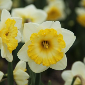 Narcissus 'Bright Sun'