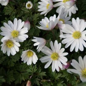 Anemone blanda 'White...