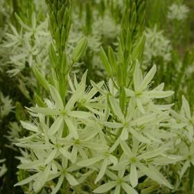 Camassia leichtlinii 'Alba'