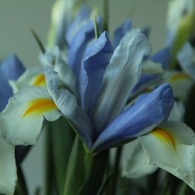 Iris hollandica 'Silvery...