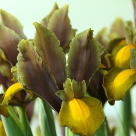 Iris hollandica 'Autumn...