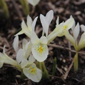 Iris 'Katharines Gold'