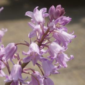 Hyacinthoides hispanica...