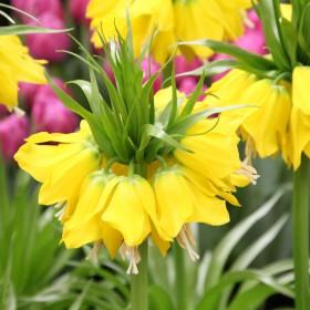 Fritillaria 'Lutea'