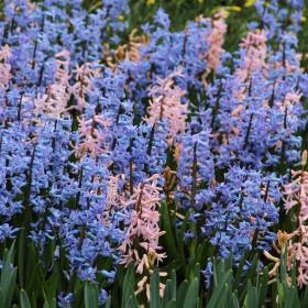 Hyacinthus Festival mix