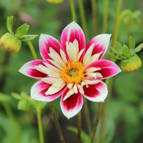 Dahlia 'Fashion Monger'