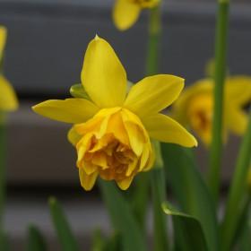 Narcissus 'Tête Rosette'