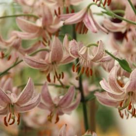 Lilium martagon 'Pink Morning'